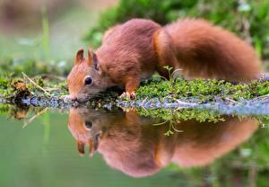 Bilder Eichhörnchen Trinkt Wasser Spiegelt