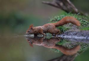Bilder Eichhörnchen Wasser Spiegelung Spiegelbild ein Tier