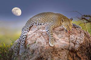 Hintergrundbilder Steine Leoparden Mond Liegen