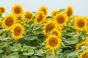 Fotos Sonnenblumen Viel Acker Gelb Blumen