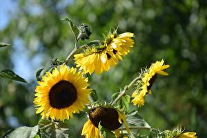 Фотография Подсолнухи Желтая Боке Цветы