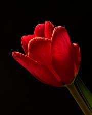 Fondos de Pantalla Tulipas De cerca Fondo negro Rojo Flores imágenes