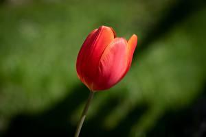 壁紙,郁金香,特寫,散景,红色,花卉,