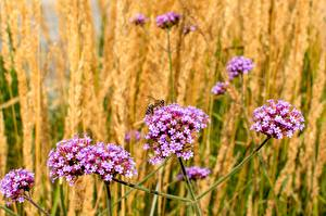 Pictures Verbena Bees Insects Bokeh flower