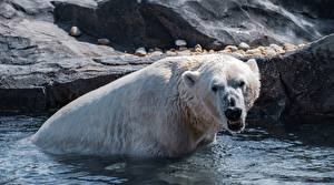 Picture Water Bears Polar bears Wet Angry animal
