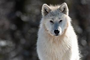 Fotos Wölfe Weiß Schnauze Starren Canis lupus tundrarum ein Tier