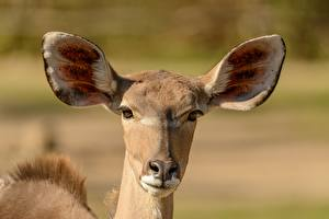 Bilder Antilope Bokeh Kopf Blick Tiere