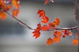 Fotos Herbst Ast Blattwerk Unscharfer Hintergrund Ahorne Natur