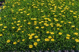 Hintergrundbilder Gänseblümchen Viel Gelb Blumen