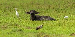Hintergrundbilder Vögel Kühe Gras Liegt