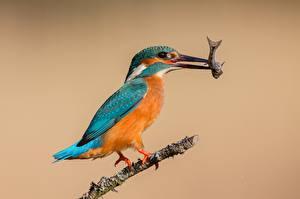 Fotos Vögel Fische Eisvogel Jagd ein Tier