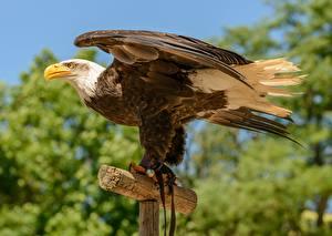 Hintergrundbilder Vögel Seitlich Weißkopfseeadler