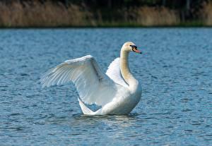 Fotos Vogel Schwan Wasser Weiß