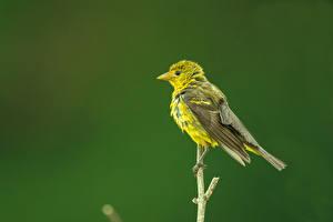 Fotos Vögel Ast Western Tanager, female