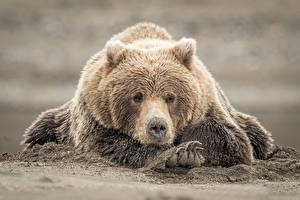 Images Bears Grizzly Paws Sand Animals