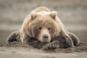 Hintergrundbilder Bären Braunbär Pfote Sand