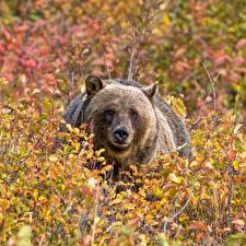 Photo Bears Brown Bears Shrubs