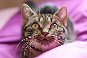 Hintergrundbilder Hauskatze Starren Schnauze Schnurrhaare Vibrisse Tiere