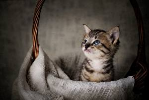 Wallpapers Cat Kittens Wicker basket Staring