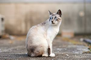 Fotos Hauskatze Sitzt Starren Unscharfer Hintergrund Tiere
