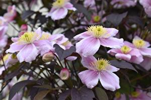 Hintergrundbilder Waldreben Unscharfer Hintergrund Rosa Farbe Blütenknospe Blumen