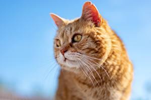 Bureaubladachtergronden Van dichtbij Katten Hoofd Kijkt Snorharen Gember kleur een dier