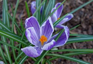 Wallpaper Closeup Crocuses Blurred background Violet Flowers