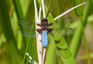 Bakgrunnsbilder Nærbilde Øyenstikkere Insekter Gress Bokeh Dyr