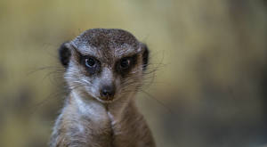 Pictures Closeup Suricate Bokeh Head Glance Whiskers Animals