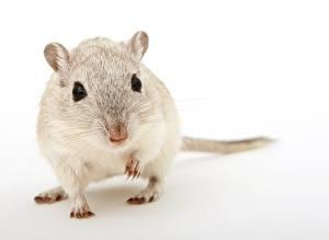 Bakgrundsbilder på skrivbordet Närbild En mus Gnagare Grå bakgrund Blick Djur