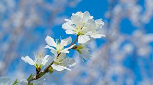 Images Closeup Blurred background Branches Peaches branches Flowers