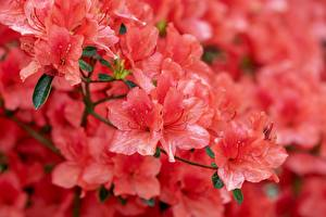 Image Closeup Rhododendron Pink color Japanese Azalea Flowers