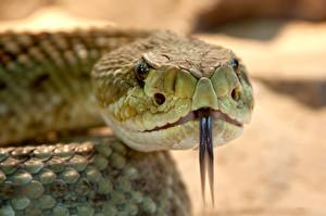 Wallpapers Closeup Snakes Bokeh Head Tongue Animals