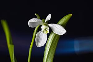 Wallpaper Closeup Galanthus Blurred background White flower