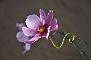 Bakgrundsbilder på skrivbordet Rosenskäresläktet Närbild Suddig bakgrund Rosa färg Blommor