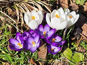 Images Crocuses Closeup White Violet Flowers