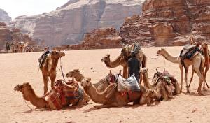 Bilder Wüste Kamele Sand Wadi-Rum, Jordan ein Tier