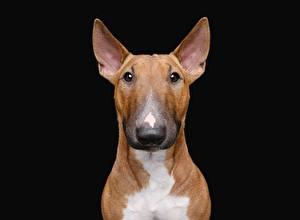 Bilder Hunde Schwarzer Hintergrund Bullterrier ein Tier