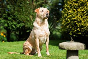 Pictures Dog Bokeh Labrador Retriever Sitting