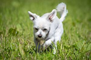 Wallpaper Dog Grass White Bokeh Westie animal