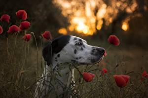 Bakgrunnsbilder Hunder Valmuer Hode Dalmatiner Dyr
