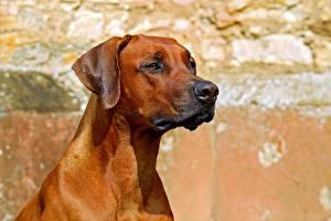Pictures Dogs Head Staring Rhodesian Ridgeback animal