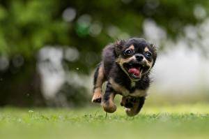 Wallpaper Dogs Run Puppies Funny Blurred background Tongue animal