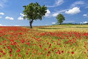 Hintergrundbilder Acker Mohnblumen Sommer Bäume Natur Blumen