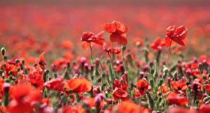 Fotos Felder Sommer Mohnblumen Bokeh Blumen