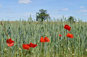 Pictures Fields Wheat Poppies Spike Red Nature