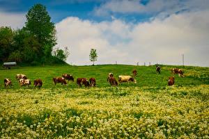 Bureaubladachtergronden Duitsland Grasland Paardenbloemen Een koe Beieren Wangen Natuur Dieren
