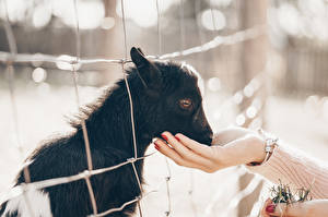 Image Goat Cubs Hands Fence Animals