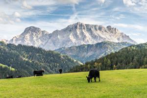 Bureaubladachtergronden Grasland Koeien Berg Bossen een dier