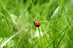 Wallpapers Ladybugs Insects Grass Blurred background Animals